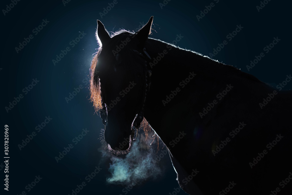 Fototapeta Portrait of an adult horse against a dark background. The silhouette is outlined by a bright light. Cold weather, from the nostrils of the stallion there is steam. Black background. Copy space