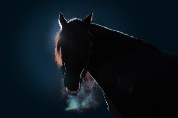 Portrait of an adult horse against a dark background. The silhouette is outlined by a bright light. Cold weather, from the nostrils of the stallion there is steam. Black background. Copy space