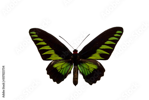 Photo  Rajah Brooke's birdwing, Trogonoptera brookiana, a butterfly cut out with white