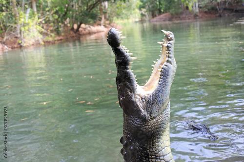 Obraz na plátně Saltwater crocodile
