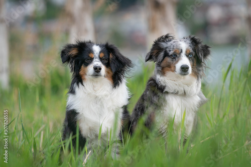 Photo A pair of Australian Shepherds, sitting, summer