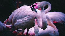 Close-up Of Flamingo Brids Fighting
