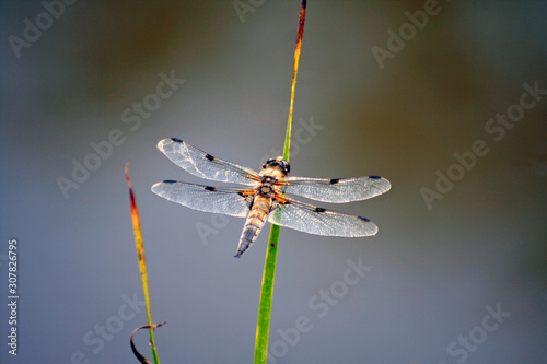 Anisoptera Insecta Odonata Dragonfly Canvas Print