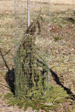 Fruit Tree Wrapped In Spruce Paws And Metal Mesh In The Garden. Universal Protection Against Cold And Rodents