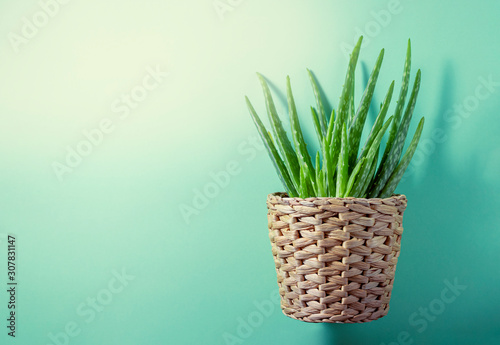 Photo  Aloe plant in a pot on a green background.