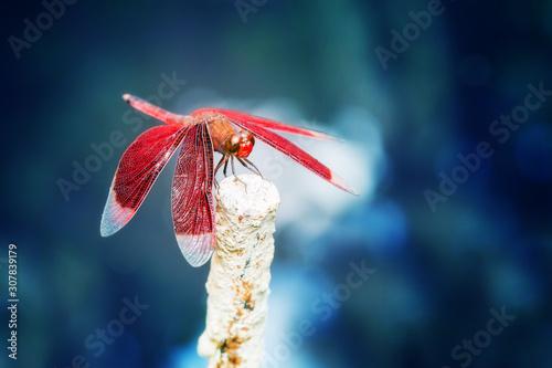 Photo Beautiful Crimson marsh glider (Trithemis Aurora) dragonfly during a ecotourism