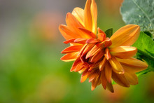 Orange Flower On Green Backgro...