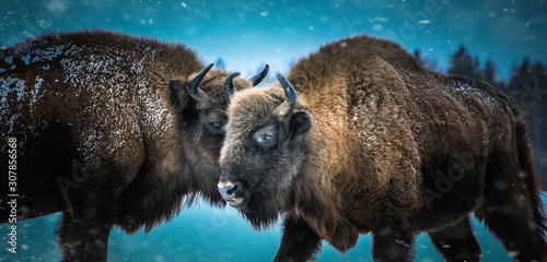 La pose en embrasure Bison Русский bison