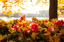 Pink Flowers Are Begonias In The Autumn Park On The Shore Of The River, Blurred The Background