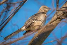 Profile View Of A Northern Mockingbird Raleigh, North Carolina.