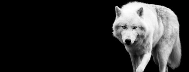 Panel Szklany Podświetlane Czarno-biały White wolf with a black background