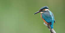 Kingfisher On Perch