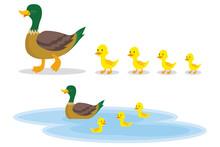 A Wild Duck With Little Ducks ...