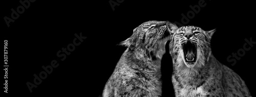 Fototapeta Lynx with a black background obraz