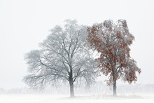 Iced Bare Trees In A Foggy Rur...