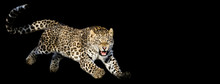 Leopard Jumping With A Black Background