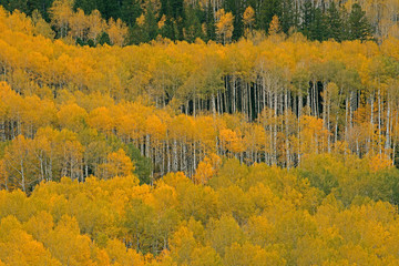 Panel Szklany Drzewa Autumn Aspens Castle Creek Road Colorado