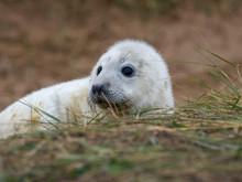 Grey Seal Pup On The Beach Dun...