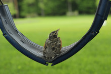 Baby Bird On Swing