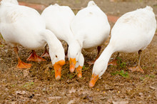 A Group Of Four White Geese Walks In The Backyard, Close-up