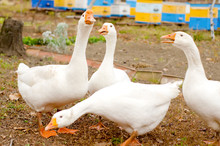 A Group Of Four White Geese Wa...