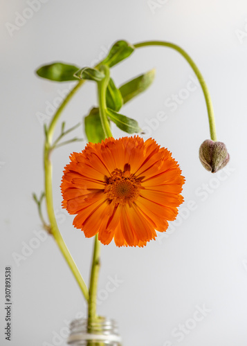 Fotografie, Obraz  Orange daisy still life with convoluted stem and a flower bud, front view, again