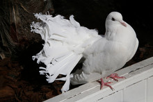 White Fantail Pigeon. Domestic...