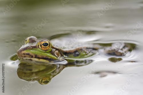 Photo Reflet de grenouille verte