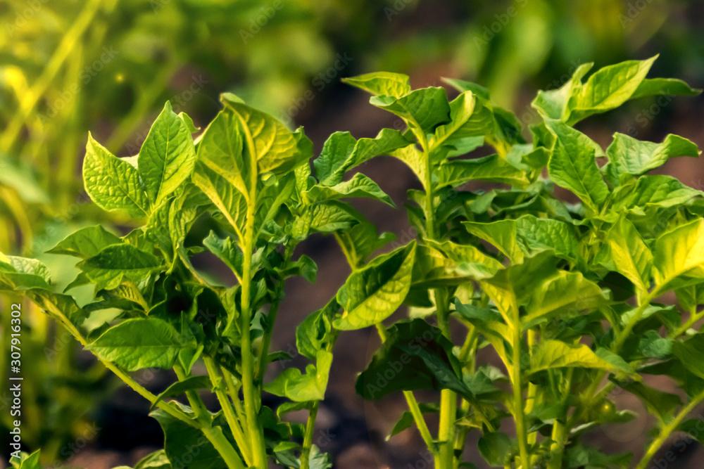 Fototapeta potato Bush close up the leaves .