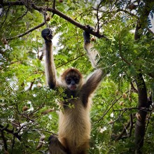 Spider Monkey Hanging Out
