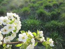 White Pear Blossoms Flower Aga...