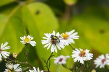 Green Bottlefly On Aster Flowe...