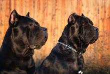 Two Beautiful Big Black Dog Breed Italian Cane Corso