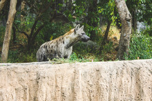 Formidable And Severe Hyena Lo...
