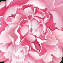 Fototapeta Peonie Top view of blooming light pink color Peony flower, digital hand draw and paint image.