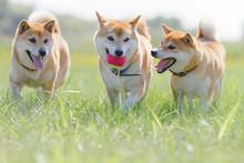 野原で遊んでいる柴犬