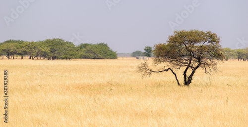 A lonely tree in the grasslands of the Velavadar National Park near the city of Bhavnagar in Gujarat Wallpaper Mural