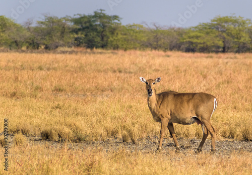 A nilgai aka blue bull , the largest Asian antelope, looks at the camera in the grasslands of the Velavadar National Park on the outskrits of Bhavnagar city in Gujarat, India Canvas Print