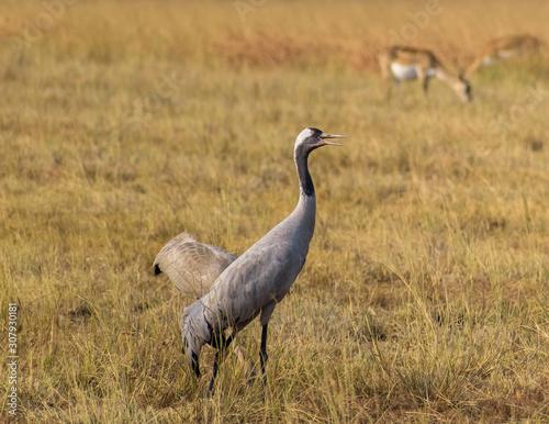 A common crane in the grasslands of the Velavadar National Park near Bhavnagar in Gujarat, India Wallpaper Mural