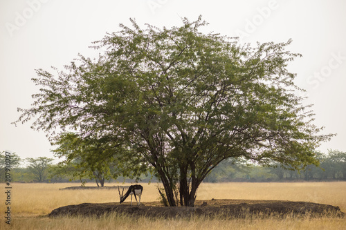 Photo A lone Prosopis tree gives shade to a lone male blackbuck in the Velavadar National Park near Bhavnagar in Gujarat, India