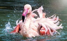 Flamingo Bird Close-up Profile...