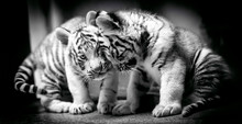 A Pair Of White Tiger Resting ...