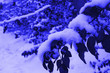 Leinwanddruck Bild - Fluffy snow on the branches of bushes and trees. Winter mood in the classic Panton 2020 blue