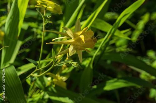 Yellow columbine wildflower, close-up