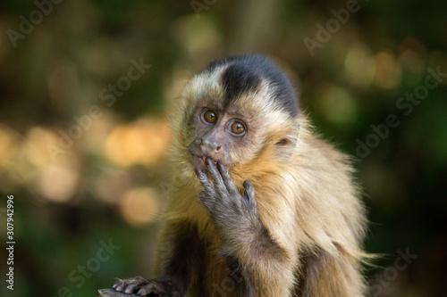 Valokuva Baby nail monkey sucking fingers