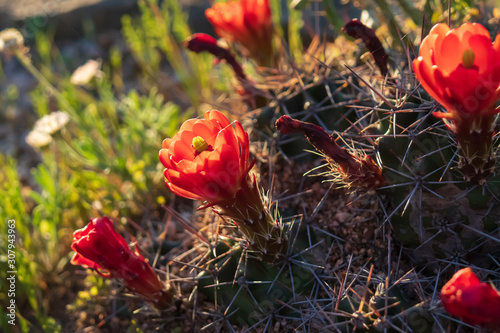 Red flowers on a cactus, close-up