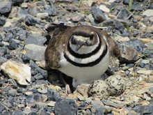 A Kildeer Plover Guards The Eggs In Her Nest On A Road