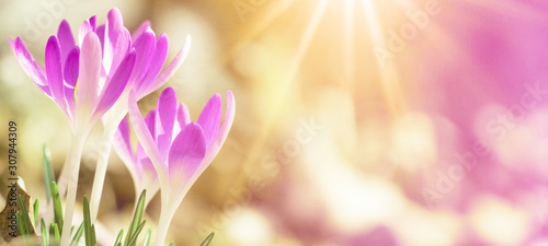 Obraz Spring awakening - Blossoming pink crocuses illuminated from the morning sun - Spring background panorama with space for text - fototapety do salonu