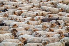 Flock Of Drenthe Heath Sheep W...