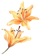 Watercolor Lily, Orange Lilly ...